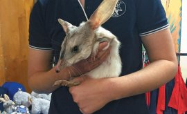 Woman holding a Bilby