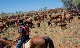 Cattle drove on Landsborough Highway IN BARCALDINE