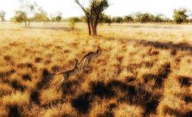 Kangaroos jumping in Charleville